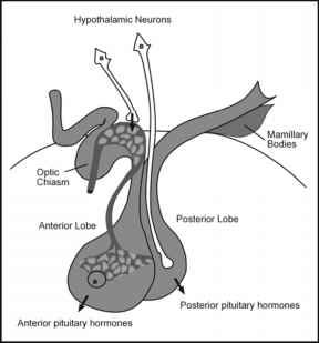 Diagrammatic Representation Pituitary