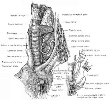Glossopharyngeal Neve Left Side Picture