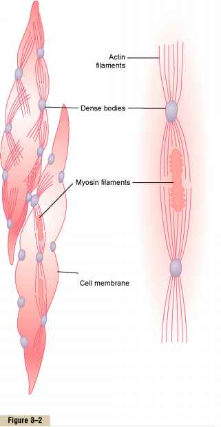 Smooth Muscle Dense Bodies Actin Myosin