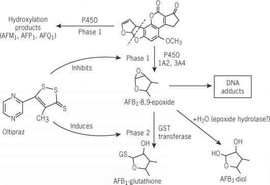 Aflatoxin Biosynthesis Pathway
