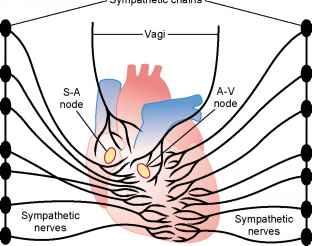 Intrinsic Regulation Of Heart Pumping The Frank Starling