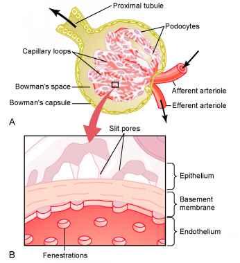 Glomerular Filtration The First Step in Urine Formation - Medical ...