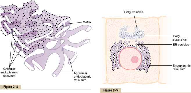 endoplasmic reticulum and golgi bodies relationship goals
