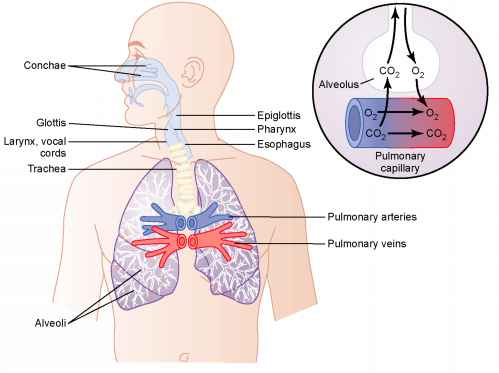 Trachea Bronchi and Bronchioles - Medical Physiology