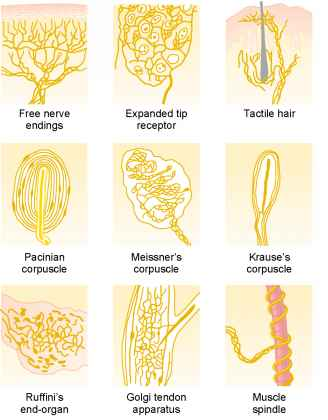Types Of Sensory Receptors And The Sensory Stimuli They Detect Medical Physiology