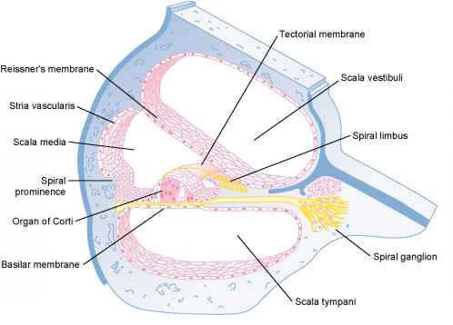 functional anatomy of the cochlea medical physiology. Black Bedroom Furniture Sets. Home Design Ideas