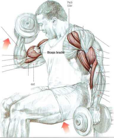 Strength Training Anatomy - Strength Training - Euroform Healthcare