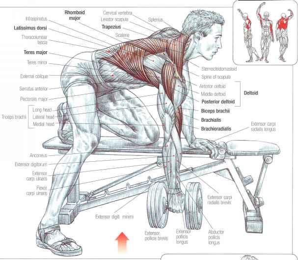 Накачать мышцы в домашних условиях широчайшая спины