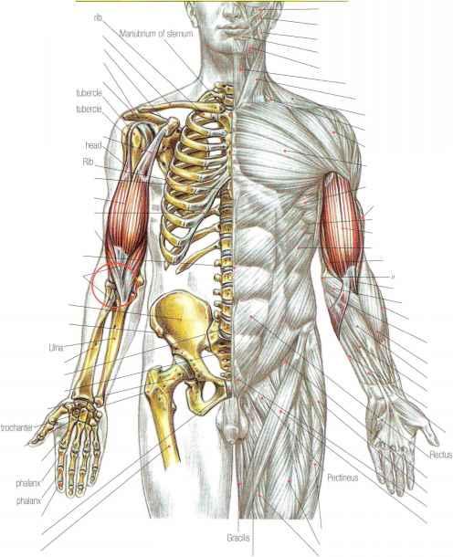 Biceps brachii tendon tear - Strength Training - Euroform Healthcare