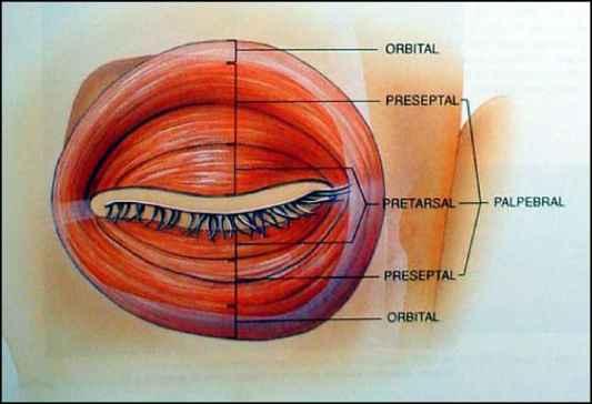 Surgical Anatomy Lower Eyelid - Temporalis Fascia